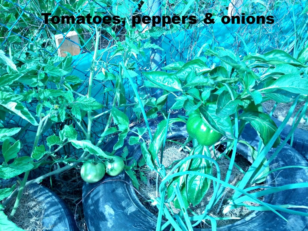tomatoes peppers onions sized